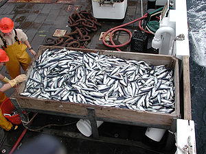 Commercial herring catch