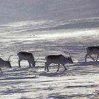 Saving the endangered caribou