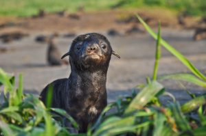 Northern-fur-seal-pup-by-AW-Trites-300x199