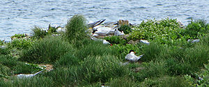 English: Common Terns (Sterna hirundo), nestin...