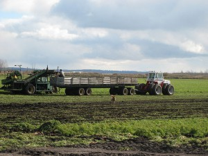 Annual harvest on the Holland Marsh in Central Ontario. (Image from Wikipedia)
