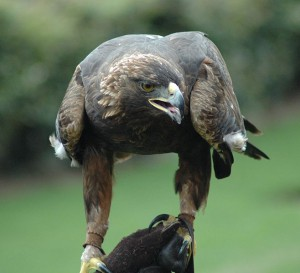 Golden Eagles are found all over North America, but are endangered in Ontario (Image via Wikipedia)