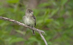 English: Acadian Flycatcher