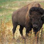 Yukon bison population over target, survey shows