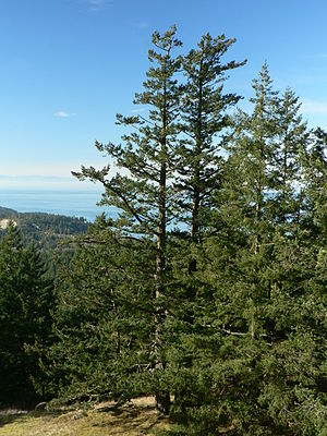 Coast Douglas-fir