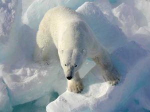 Polar Bears are listed as threatened -- likely to become endangered if no steps are taken. (Image via wikipedia)