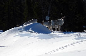 George River caribou, Labrador (Photo by NCC)