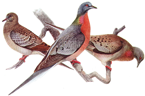 Photo: Of passenger pigeons and coal-mine canaries