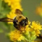 Environmental groups applaud Ontario's action on bee and pollinator protection