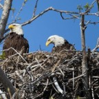 Old growth and eagles' nests spared from Site C construction