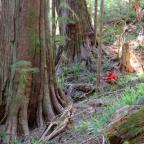 Ancient tree grove discovered in BC's threatened Walbran Valley forest