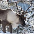 Woodland caribou need urgent protection in Manitoba