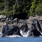 New pattern of humpback whale behavior discovered on BC's North Coast
