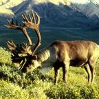 BC government urged to protect endangered caribou habitat