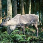 Threatened boreal caribou in crisis across Canada