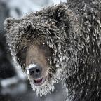 Photos: The ice grizzlies of northern Yukon | Canadian Geographic