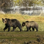 First Nations respond as the 2017 fall grizzly trophy hunt opens