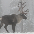 Canadian governments miss crucial deadline for caribou protection