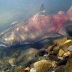Skeena Nations prohibit recreational and sport fisheries due to salmon crisis