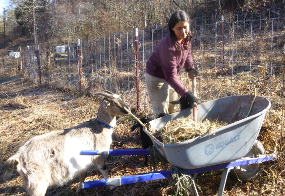 Culture of Sustainability / Roots of a Culture of Sustainability - Straw for goat bedding on family farm. Photo Walden Effect.